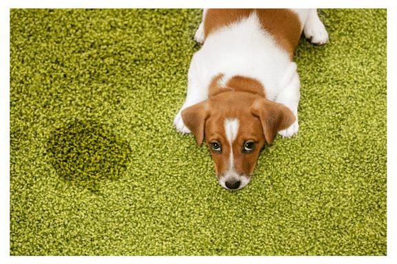 pet urine stain on carpet